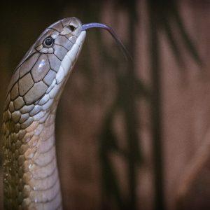Koningscobra in de tentoonstelling GIF! Foto: Marten van Dijl/Naturalis.